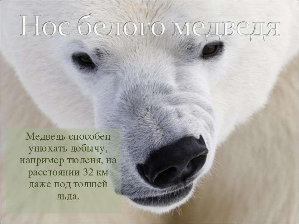 Медведь способен унюхать добычу, например тюленя, на расстоянии 32 км даже по...