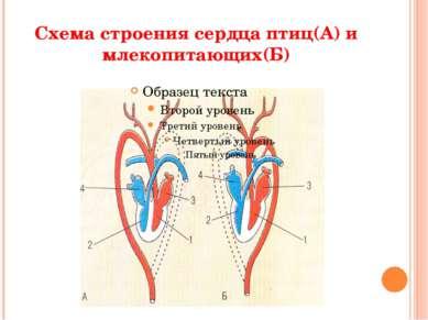 Схема строения сердца птиц(А) и млекопитающих(Б)