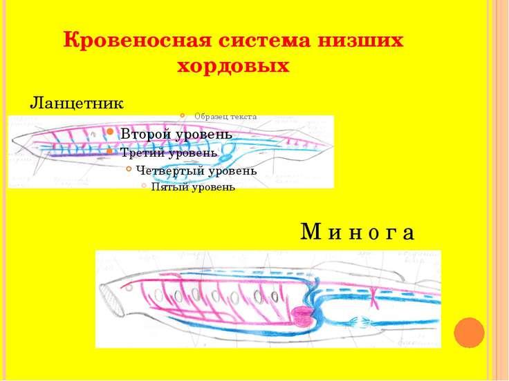 Кровеносная система низших хордовых Ланцетник М и н о г а