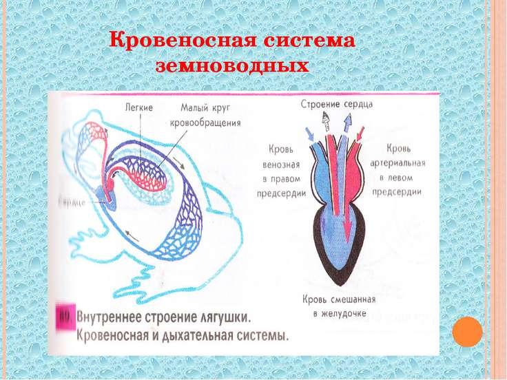 Кровеносная система земноводных