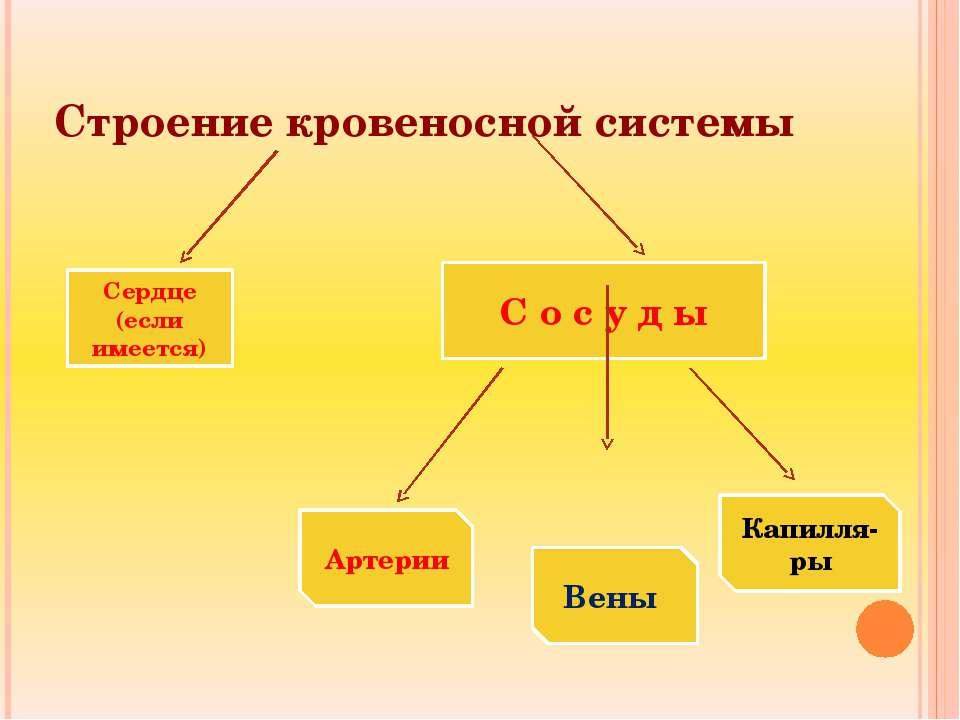 Строение кровеносной системы Сердце (если имеется) С о с у д ы Артерии Вены К...