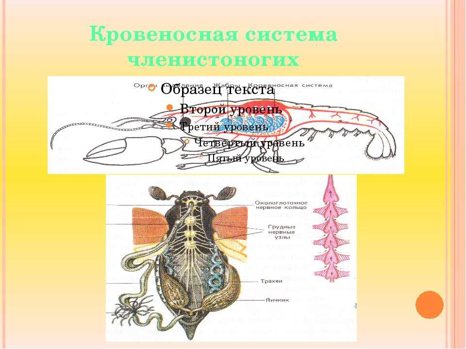 Кровеносная система членистоногих