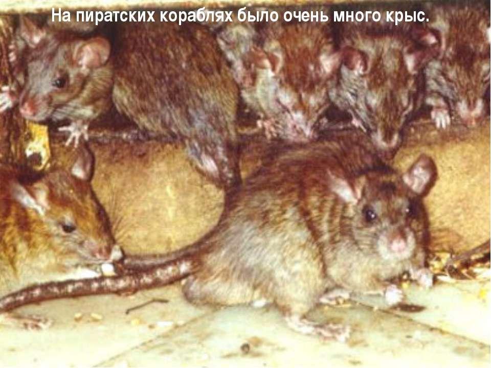 На пиратских кораблях было очень много крыс.