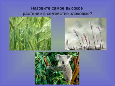 Назовите самое высокое растение в семействе злаковые?