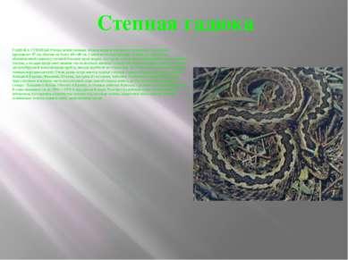 Степная гадюка ГАДЮКА СТЕПНАЯ (Virepa ursini) меньше обыкновенной, и длина ее...
