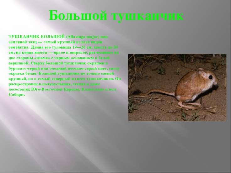 Большой тушканчик ТУШКАНЧИК БОЛЬШОЙ (Allactaga major) или земляной заяц — сам...