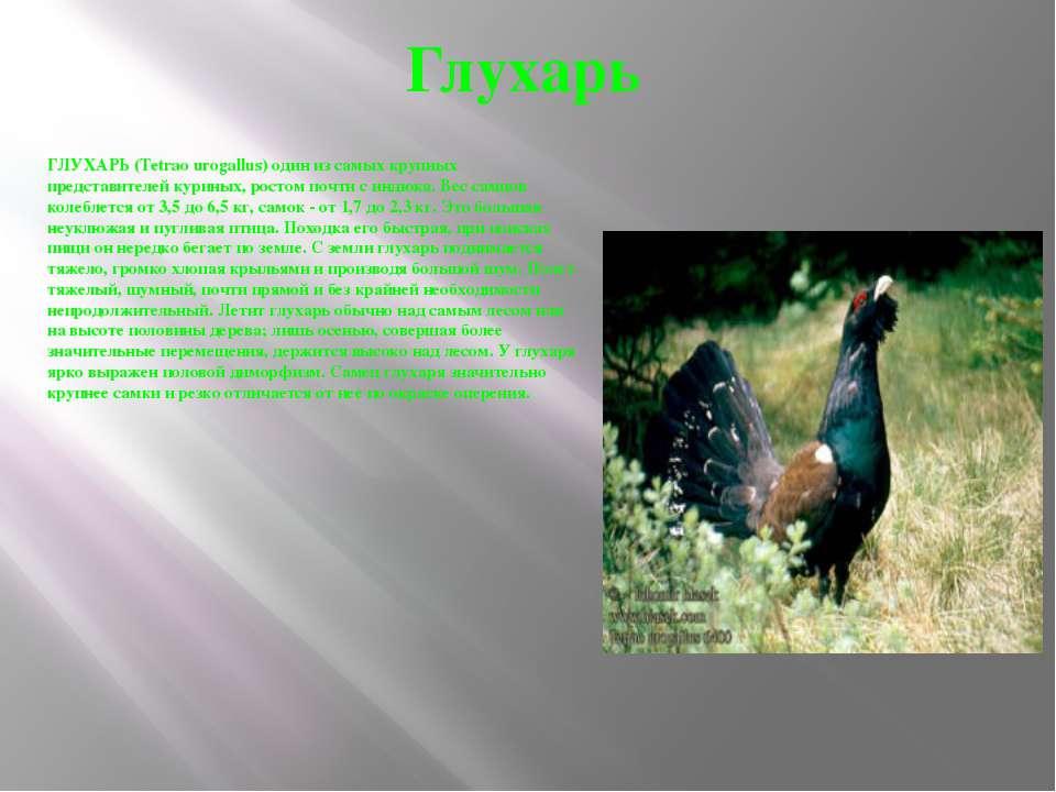 Глухарь ГЛУХАРЬ (Tetrao urogallus) один из самых крупных представителей курин...