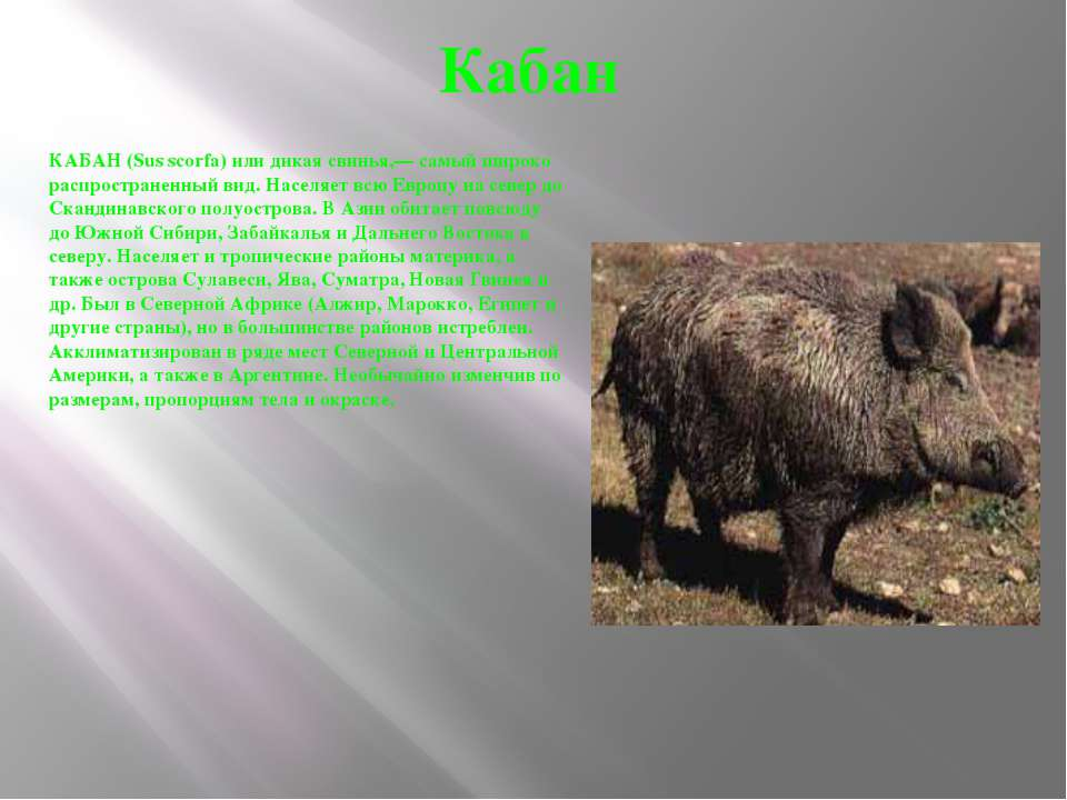 Кабан КАБАН (Sus scorfa) или дикая свинья,— самый широко распространенный вид...