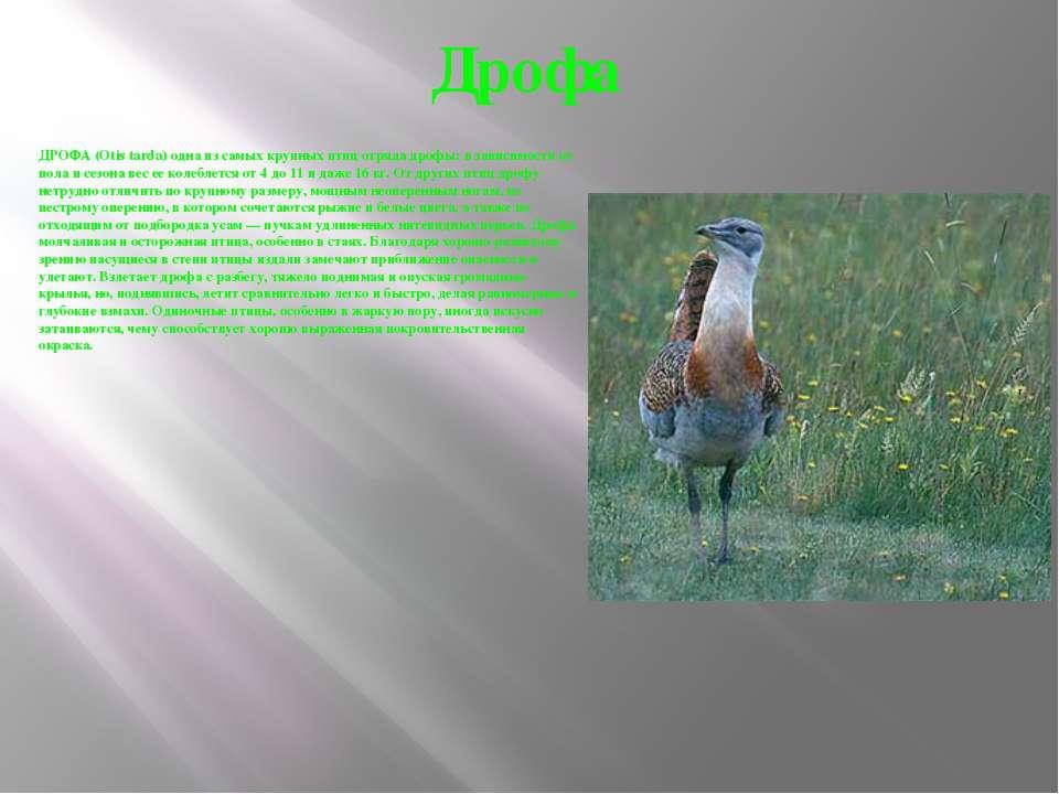 Дрофа ДРОФА (Otis tarda) одна из самых крупных птиц отряда дрофы: в зависимос...