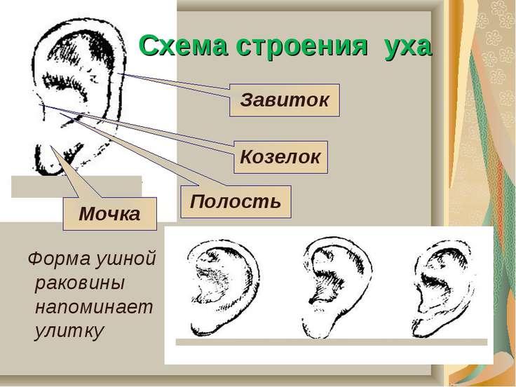Схема строения уха Форма ушной раковины напоминает улитку Мочка Полость Козел...