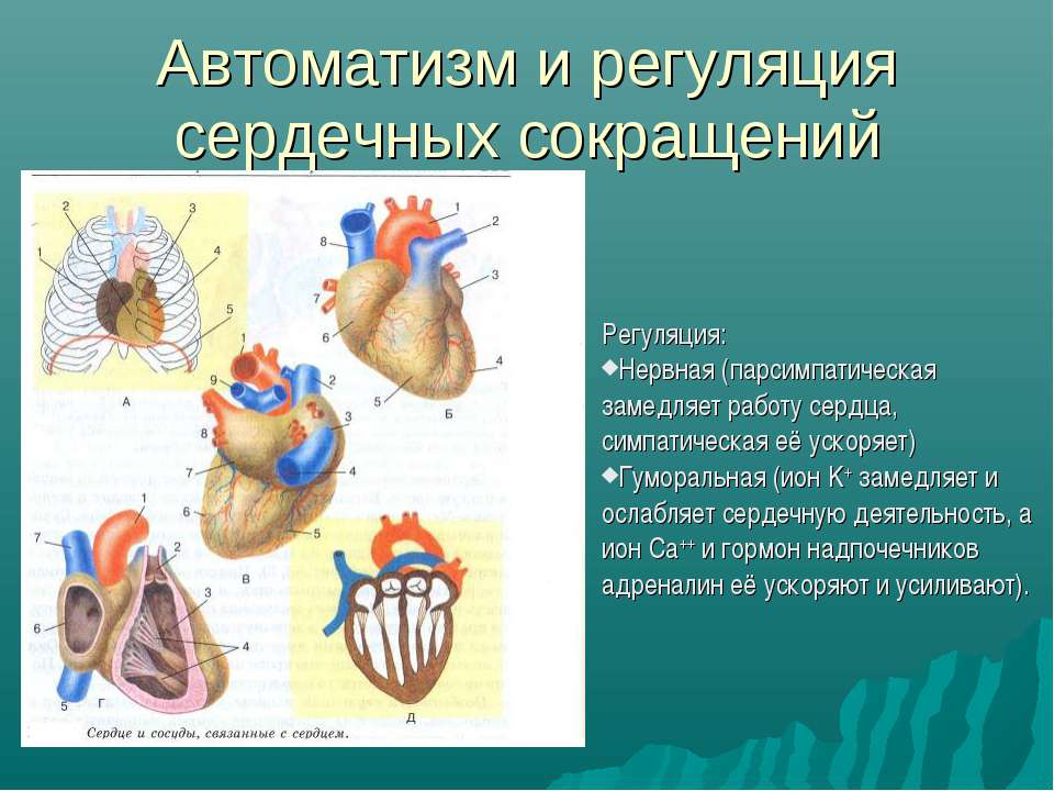 Автоматизм и регуляция сердечных сокращений Регуляция: Нервная (парсимпатичес...