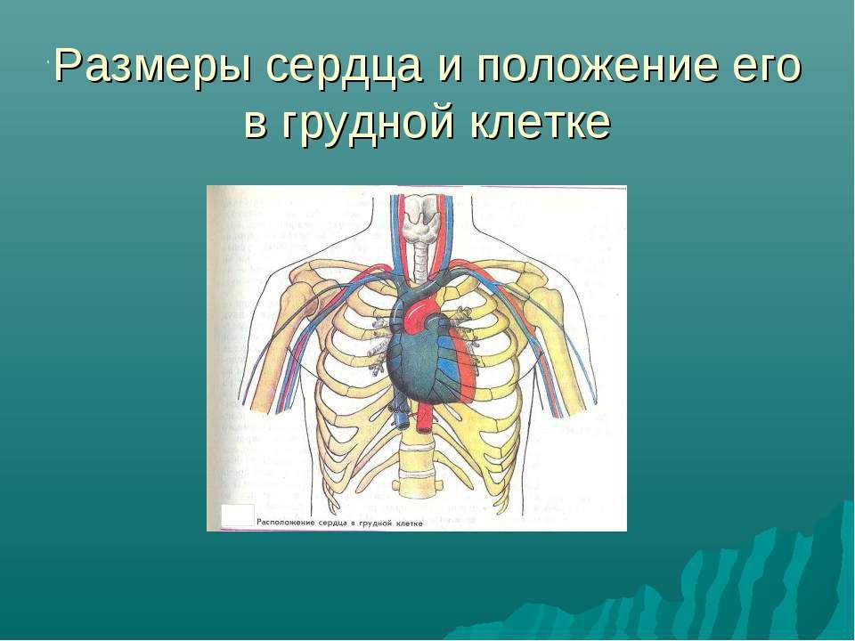 Размеры сердца и положение его в грудной клетке .