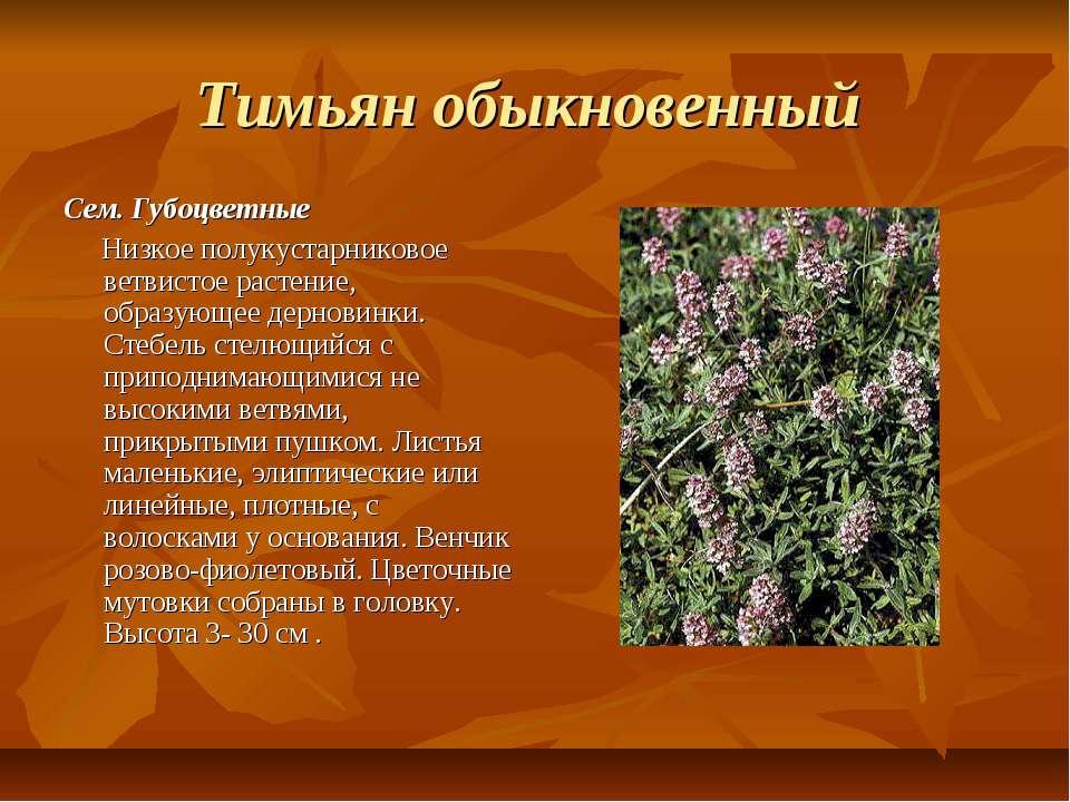 Тимьян обыкновенный Сем. Губоцветные Низкое полукустарниковое ветвистое расте...