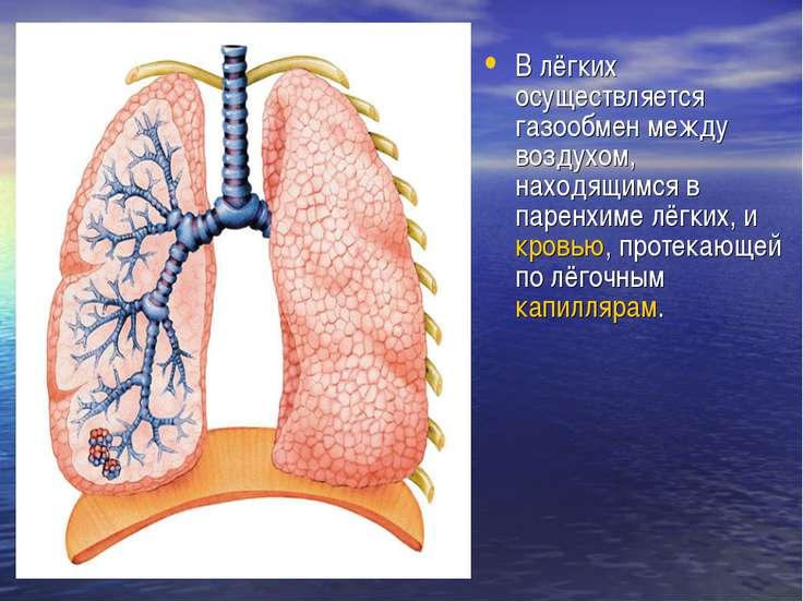 В лёгких осуществляется газообмен между воздухом, находящимся в паренхиме лёг...