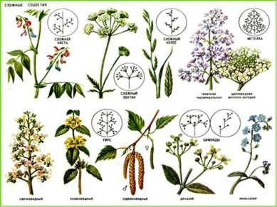 Сложные соцветия Сложными называются соцветия, в которых на главной оси распо...