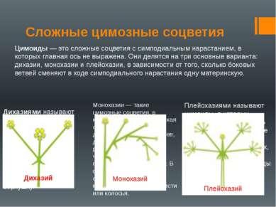 Сложные цимозные соцветия Цимоиды — это сложные соцветия с симподиальным нара...