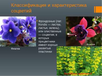 Классификация и характеристика соцветий Фрондозные (лат. frondis — листва, ли...