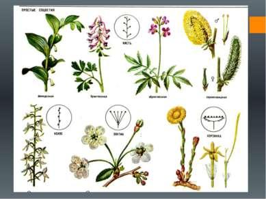 Разнообразие соцветий Как уже было сказано выше, простыми называются соцветия...