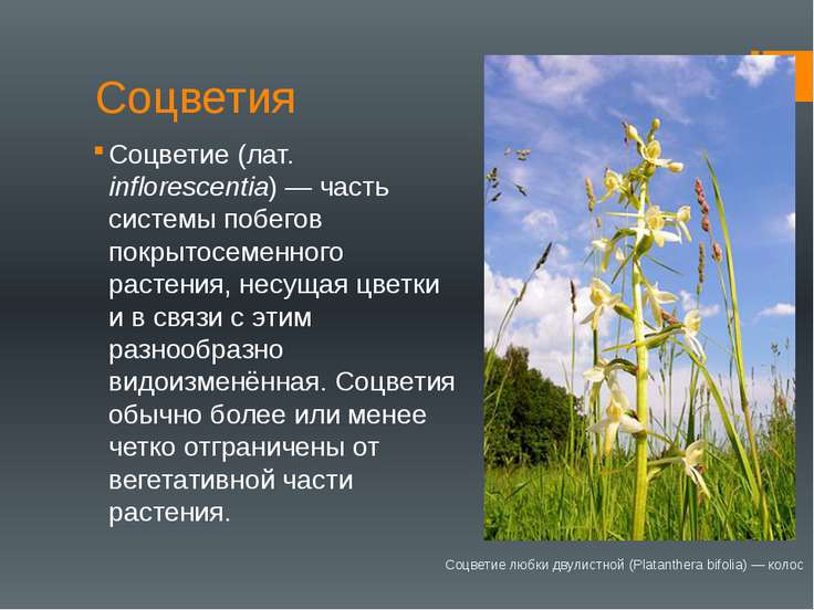 Соцветия Соцветие (лат. inflorescentia) — часть системы побегов покрытосеменн...