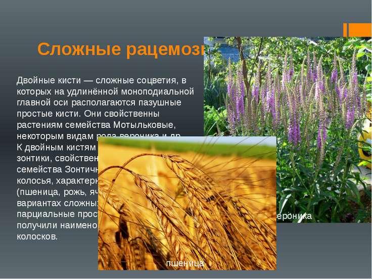 Сложные рацемозные соцветия Двойные кисти — сложные соцветия, в которых на уд...