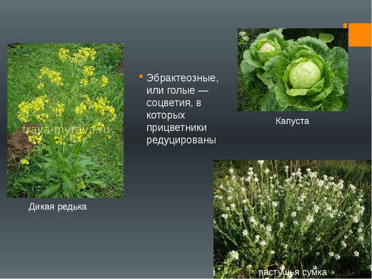 Эбрактеозные, или голые — соцветия, в которых прицветники редуцированы пастуш...