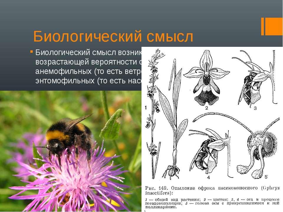 Биологический смысл Биологический смысл возникновения соцветий — в возрастающ...