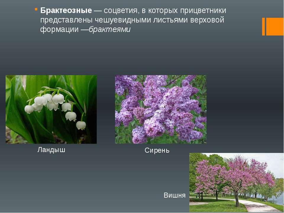 Брактеозные— соцветия, в которых прицветники представлены чешуевидными листь...