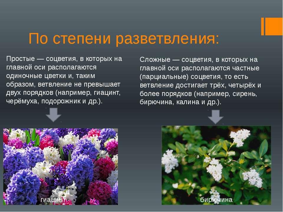 По степени разветвления: Простые — соцветия, в которых на главной оси распола...