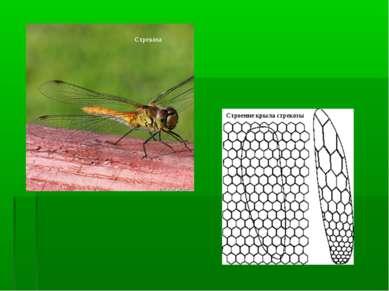 Стрекоза Строение крыла стрекозы