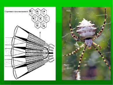 Строение глаза насекомого Паук