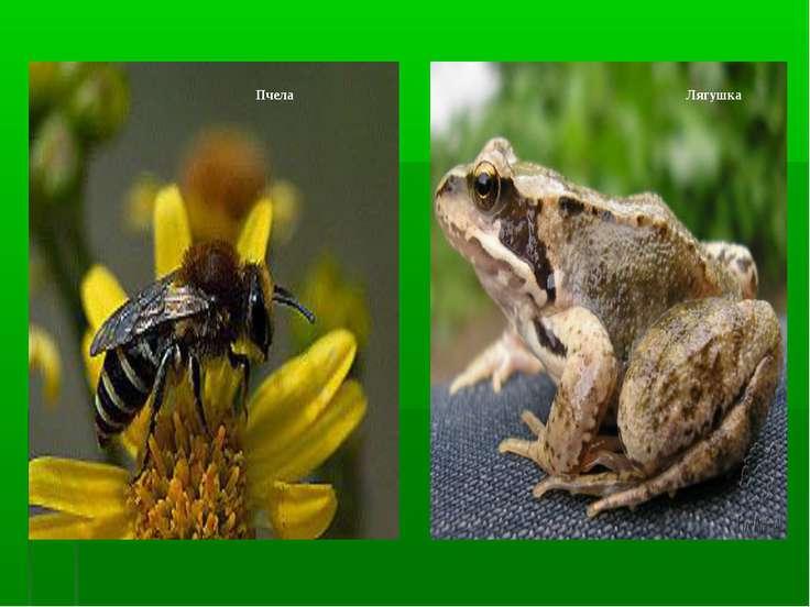 Пчела Лягушка