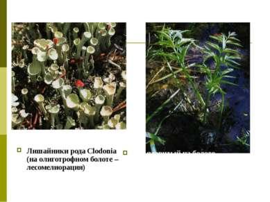 Лишайники рода Clodonia (на олиготрофном болоте – лесомелиорация) Вех ядовиты...