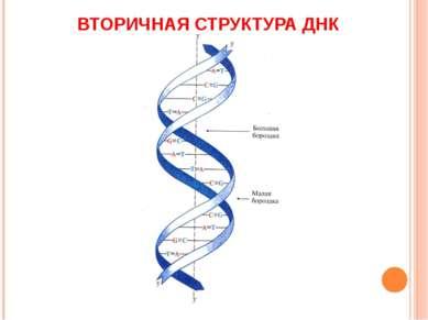 ВТОРИЧНАЯ СТРУКТУРА ДНК