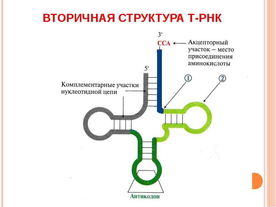 ВТОРИЧНАЯ СТРУКТУРА Т-РНК