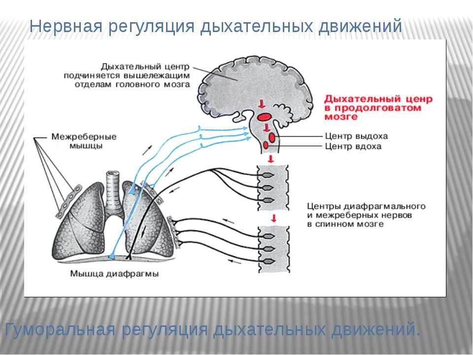 Нервная регуляция дыхательных движений Гуморальная регуляция дыхательных движ...