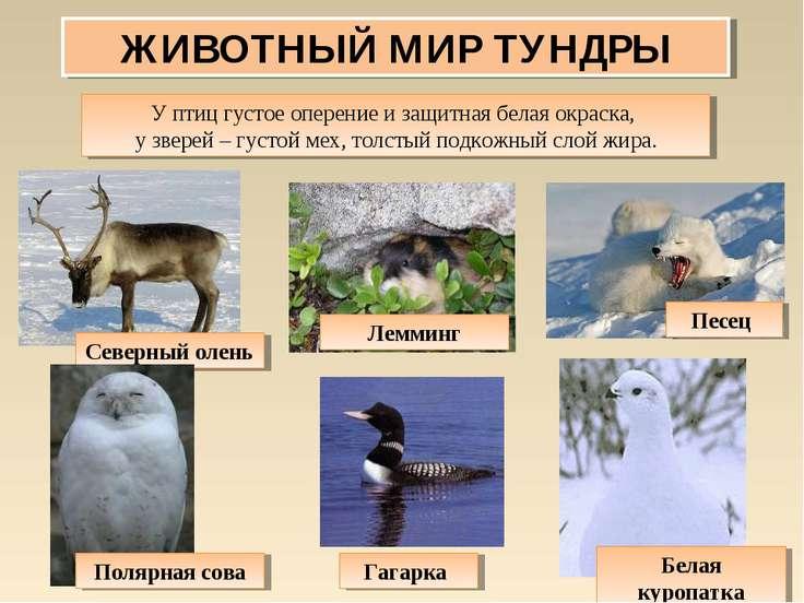 ЖИВОТНЫЙ МИР ТУНДРЫ У птиц густое оперение и защитная белая окраска, у зверей...