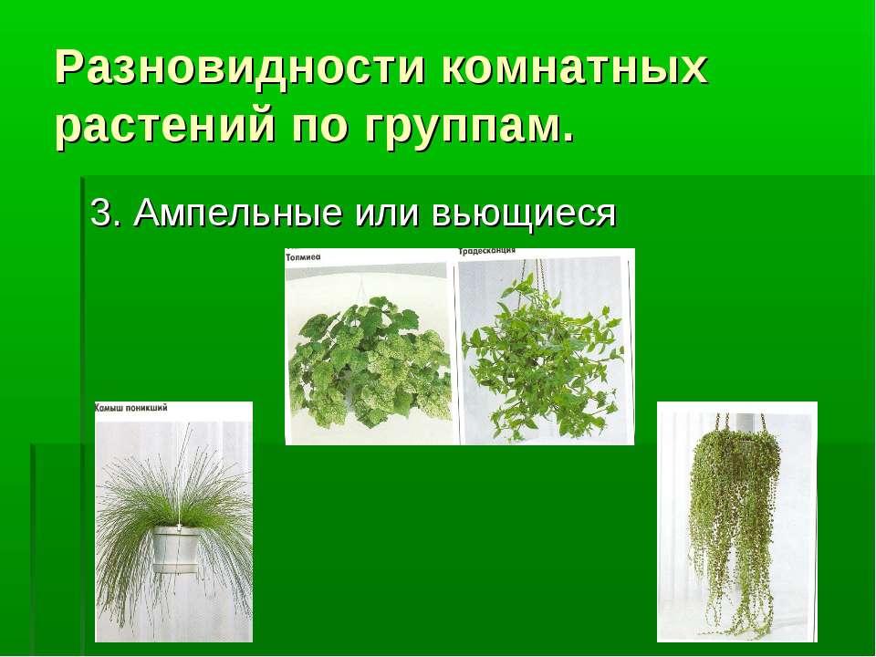 Разновидности комнатных растений по группам. 3. Ампельные или вьющиеся