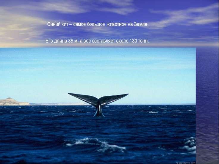 Синий кит – самое большое животное на Земле, Его длина 35 м, а вес составляет...