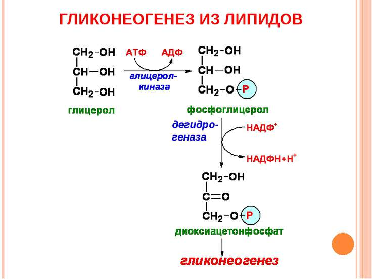 ГЛИКОНЕОГЕНЕЗ ИЗ ЛИПИДОВ дегидро-геназа