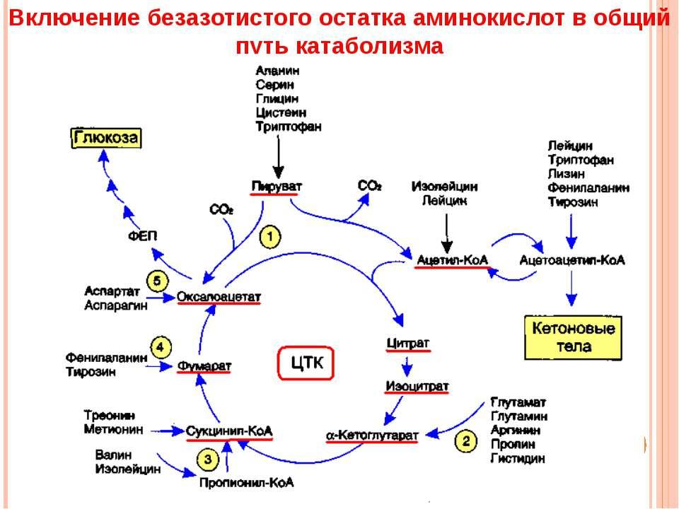 Включение безазотистого остатка аминокислот в общий путь катаболизма