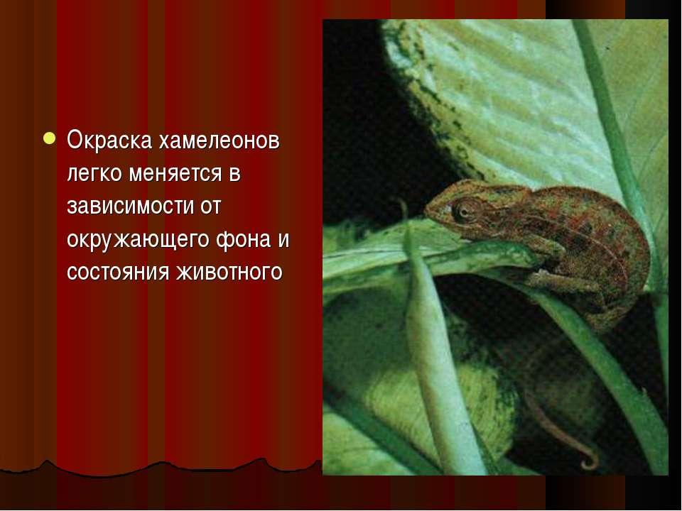 Окраска хамелеонов легко меняется в зависимости от окружающего фона и состоян...