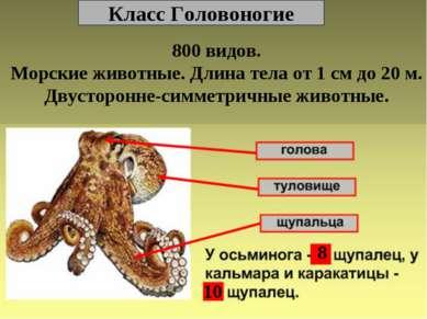 Класс Головоногие 800 видов. Морские животные. Длина тела от 1 см до 20 м. Дв...
