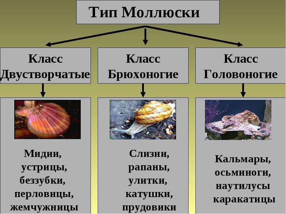 Тип Моллюски Класс Двустворчатые Класс Головоногие Класс Брюхоногие Мидии, ус...