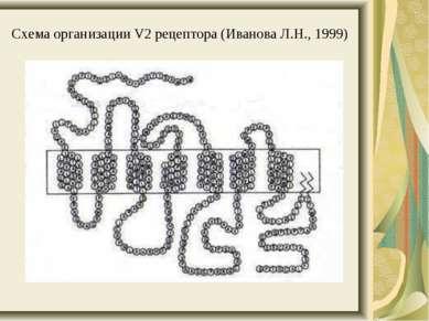 Схема организации V2 рецептора (Иванова Л.Н., 1999)