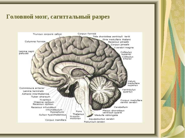 Головной мозг, сагиттальный разрез