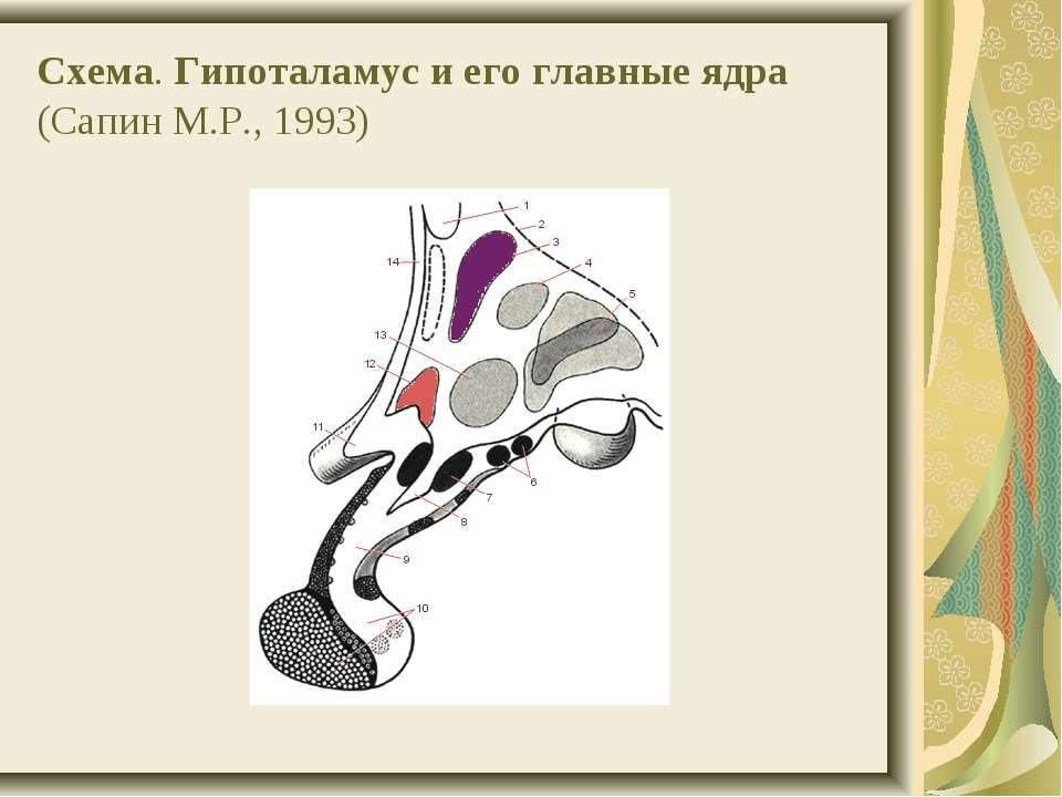 Схема. Гипоталамус и его главные ядра (Сапин М.Р., 1993)