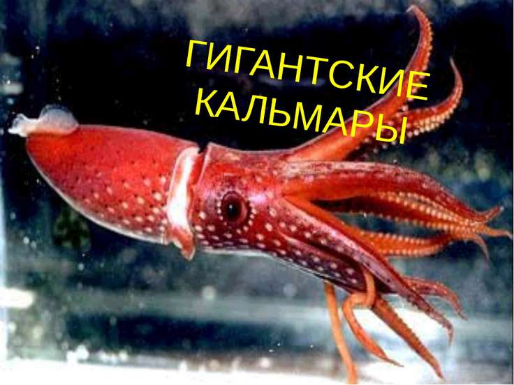 ГИГАНТСКИЕ КАЛЬМАРЫ