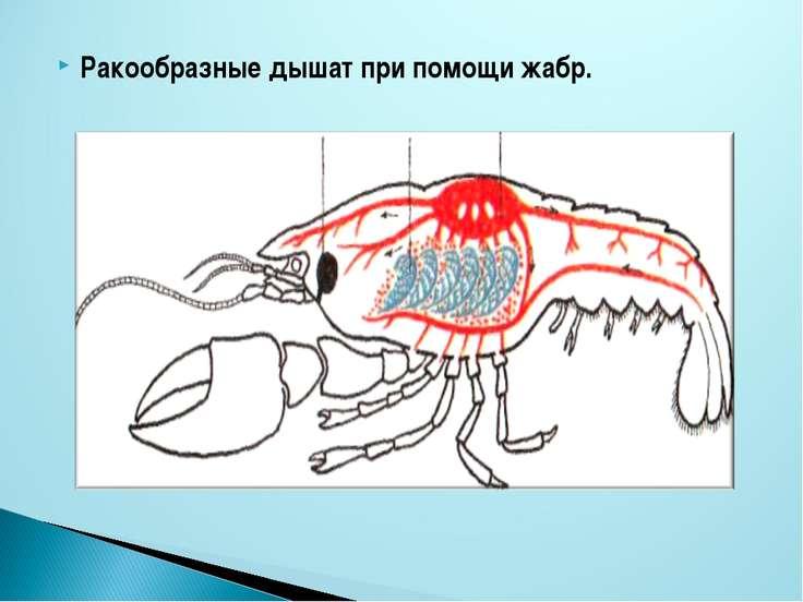 Ракообразные дышат при помощи жабр.