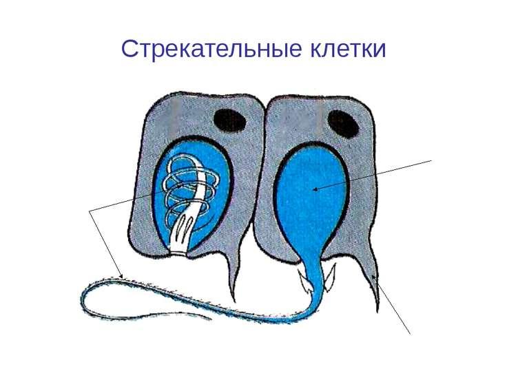 Стрекательные клетки Чувствительный волосок Стрекательная капсула с ядом Стре...