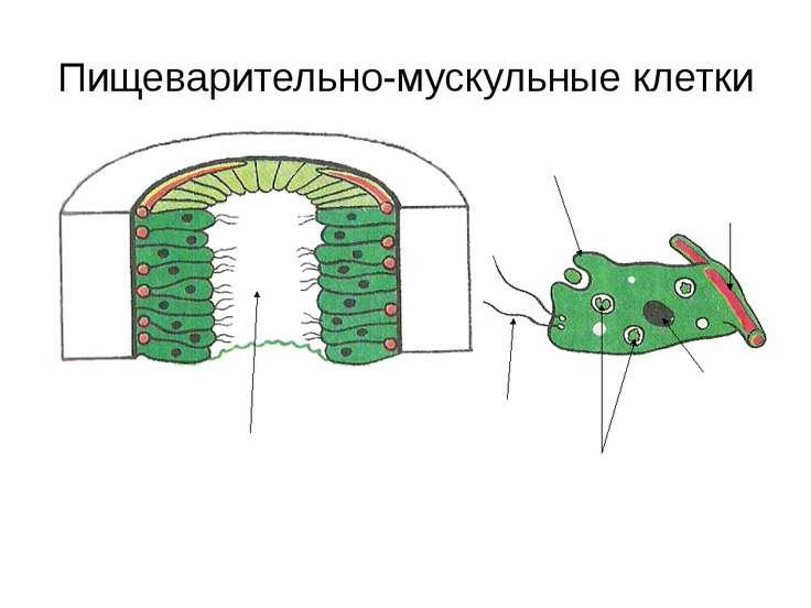 Пищеварительно-мускульные клетки Кишечная полость Жгутики Ложноножки Пищевари...